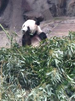 I saw a freaking panda